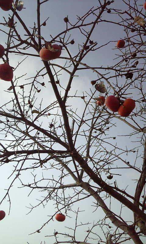 ★木守柿と俳句