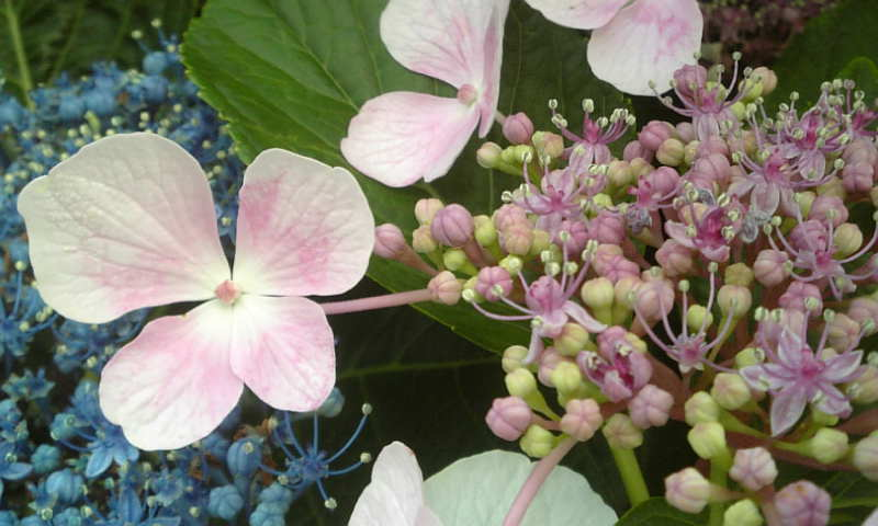 ★紫陽花のリーディングに挑戦